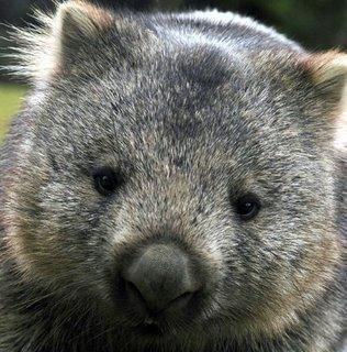 Wombatfocus[1]