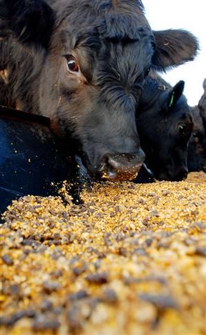 Corn_feed_as_bad_as_ethanol-709363[1]